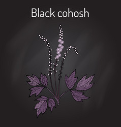 Black cohosh actaea racemosa medicinal plant vector