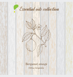 pure essential oil collection bergamot wooden vector image