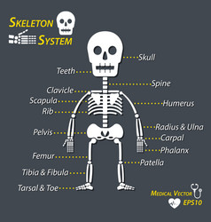 Human skeleton and all name of bone vector