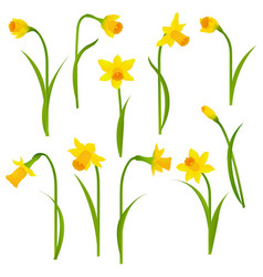 Narcissus set vector