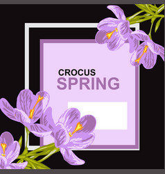 crocus floral card vector image