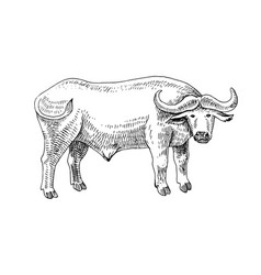 hand drawn buffalo vector image