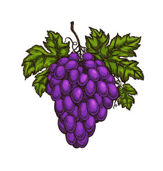 cluster of grapes fruit winery wine sketch vector image