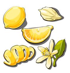 Whole ripe yellow lemon peel slice seed vector