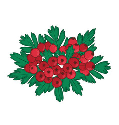 isolated bunch of hawthorn with ripe red berries vector image