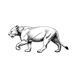 Lioness isolated hatch drawing sketch style vector