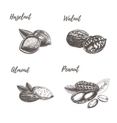 collection of hand drawn nuts vector image