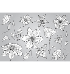 Set of hand drawn clematis flowers vector