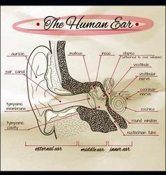 human ear Sepia vector image