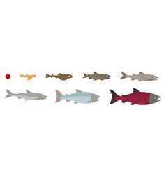 Life cycle atlantic salmon stages of vector