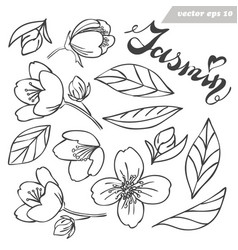 jasmine flower bud and leaves set vector image