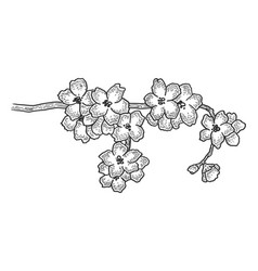 cherry tree blossom sketch engraving vector image