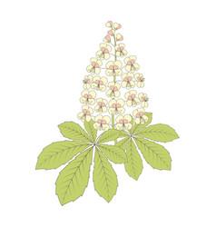 chestnut flower on white vector image