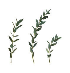 Thyme leaf green isolated medicinal set of vector