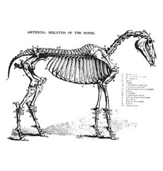 Horse skeleton vintage vector