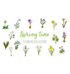 spring flowers set crocus muscari wood sorrel vector image