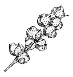 Cotton plant engraving vector