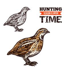 wild partridge bird color sketch vector image
