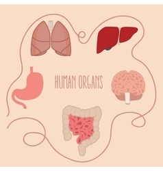 human organs parts lung intestine vector image