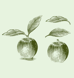engraved an apple vector image
