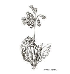 Primula officinalis hand drawn botanical vector