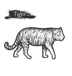 Tiger sketch zoo african and indian wild animal vector