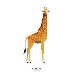 african giraffe isolated wild zoo or safari animal vector image