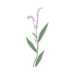 water pepper or marshpepper knotweed flowers and vector image