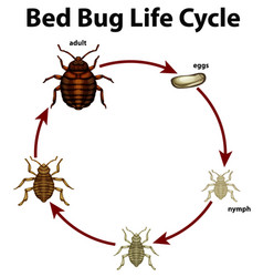 Diagram showing life cycle bed bug vector