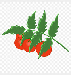 tomato bush with fruits vector image