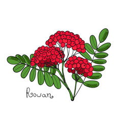 red rowan tree isolated twig of rowanberry or vector image