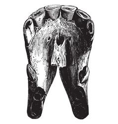 Eight year old horse teeth vintage vector