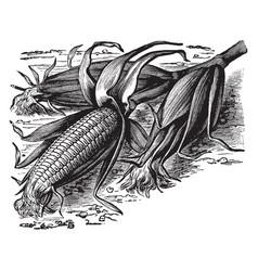 Ruby sweet corn vintage vector