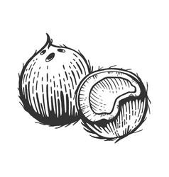 coconut sketch engraving vector image