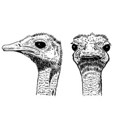 ostrich on white background design element for vector image