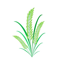 Cereal Plants or Green Rice on White Background vector image