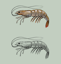shrimp vintage hand ink drawing vector image