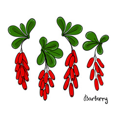 a set of isolated barberry twigs or branch vector image
