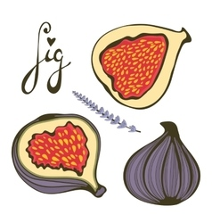 Hand drawn figs and lavender vector