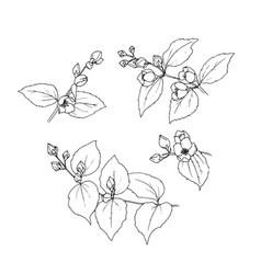 hand drawn set of 4 branches of mock orange vector image