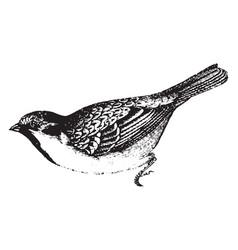 House sparrow vintage vector