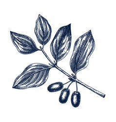 hand drawn dogwood with berries in engraved vector image