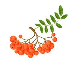 rowan berries vector image