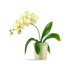 white orchid pot realistic isolated vector image
