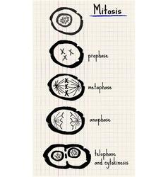 Mitosis vector