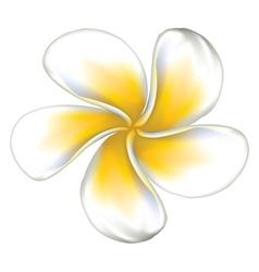 White plumeria Frangipani2 vector