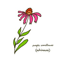 echinacea purple coneflower vector image