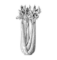 hand drawn celery plant vector image