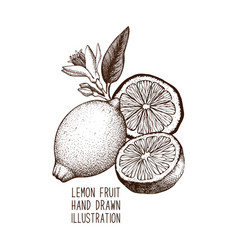 Ink hand drawn lemon sketch vector