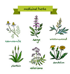 medicinal plants hand drawn vector image